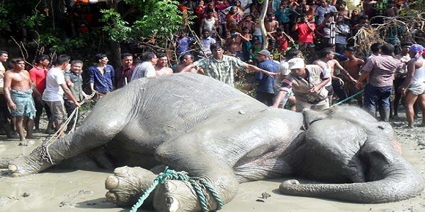 Stranded Indian elephant dies in Bangladesh