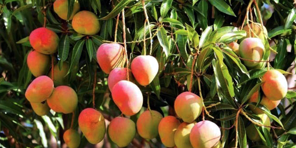 Court orders measures to stop use of chemicals in mango