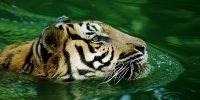 Tiger tested coronavirus positive